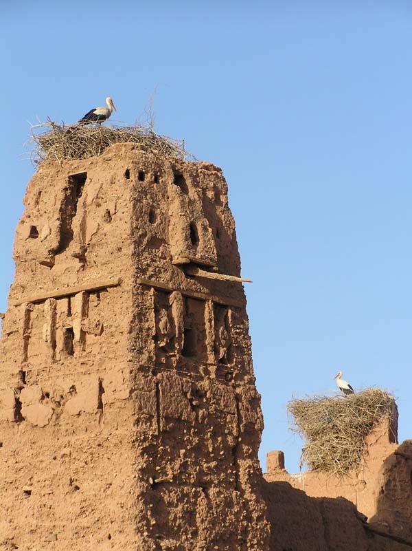 Storks in Marrakech