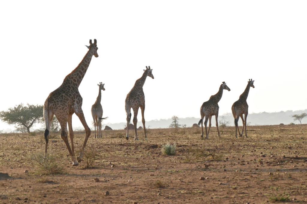 Giraffes safari South Africa