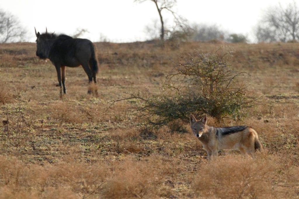 Fox and wildebeest