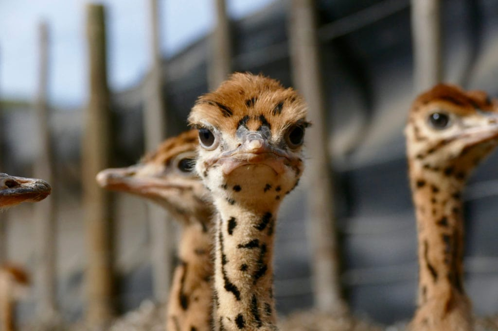 Young ostrich