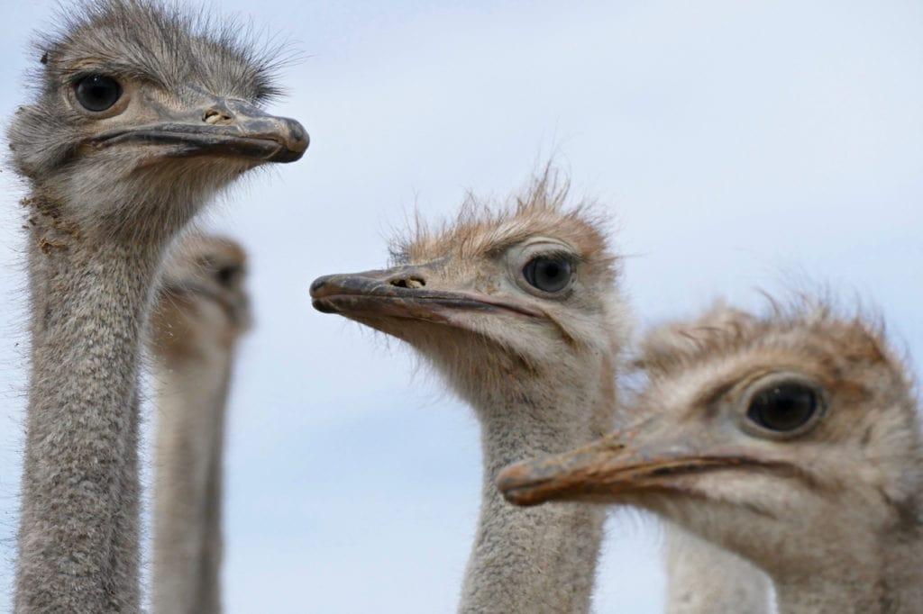 Ostriches Oudtshoorn