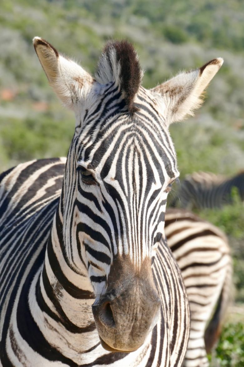 Zebra at Addo Park